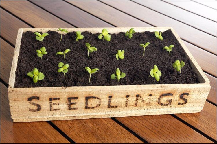 indoor vegetable gardening shelf with seedlings