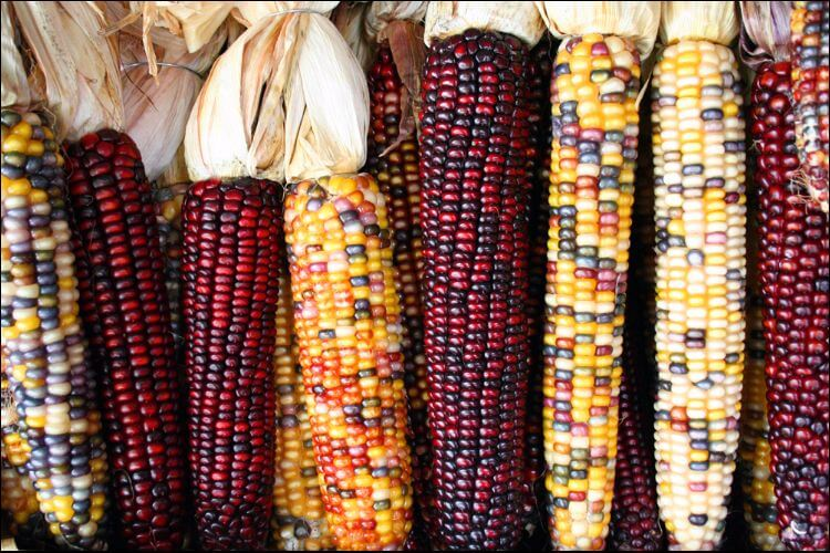 how to store garden vegetables corn harvest