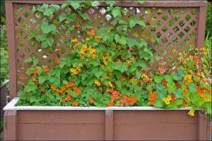 how to grow nasturtium nasturtium flowers growing on a trellis