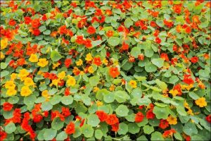 how to grow nasturtium nasturtium flower bed