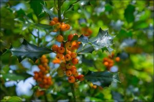 how to grow holly orange holly berries