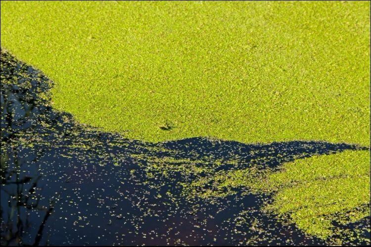 how to grow duckweed duckweed growing in a pond