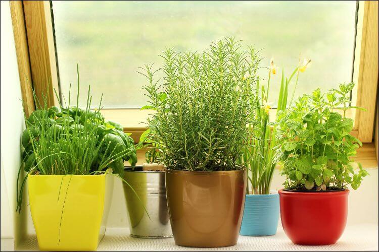 indoor vegetable gardening potted herbs