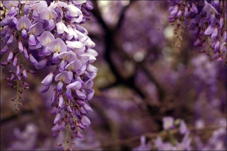 how to grow wisteria from seed purple wisteria flower