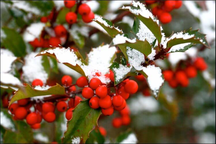 how to grow holly red holly berries with snow on the branches