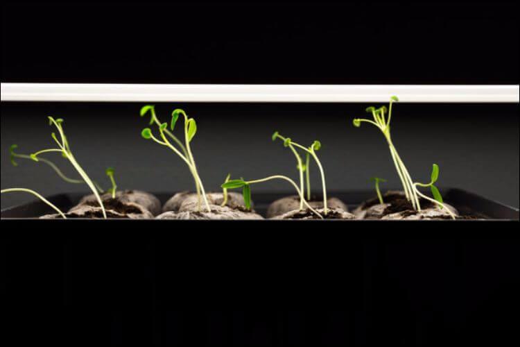 indoor vegetable gardening tomato seedlings under grow light