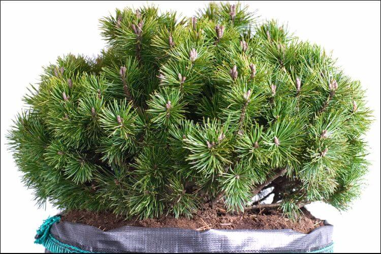 landscaping with evergreens white pine in container
