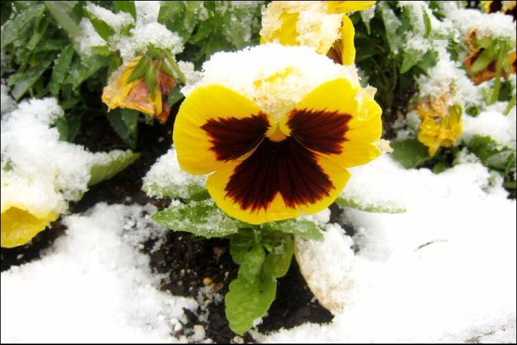plants that survive winter winter pansies