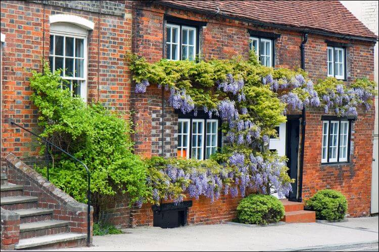 how to grow wisteria from seed red brick house with wisteria