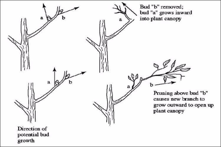 how to grow wisteria from seed pruning wisteria diagram