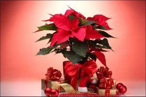 how to care for a poinsettia plant Christmas poinsettia