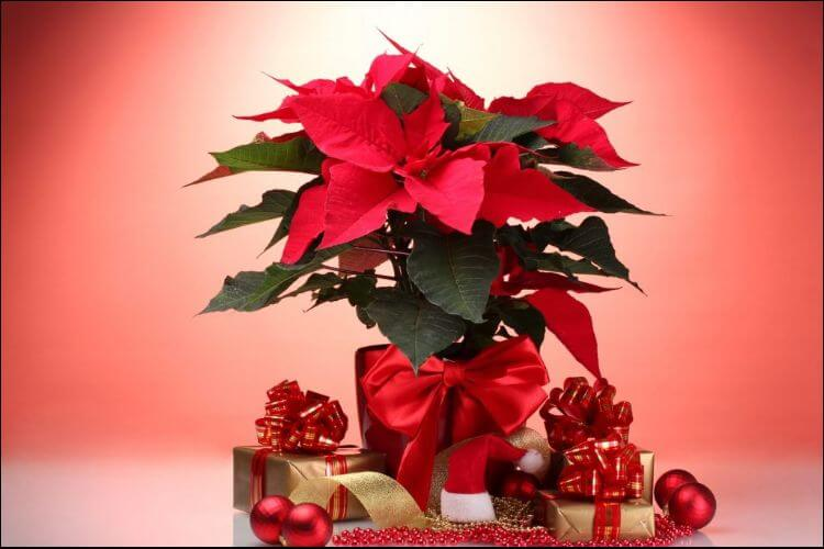 how to care for a poinsettia plant Christmas poinsettia
