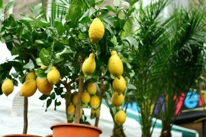 pear-shaped lemons in a potted lemon tree besides another lemon tree