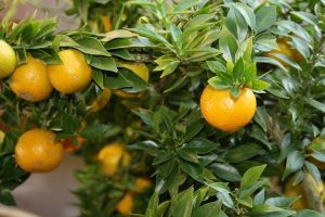 yellow lemons in tree
