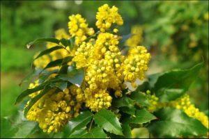winter blooming flowers yellow mahonia