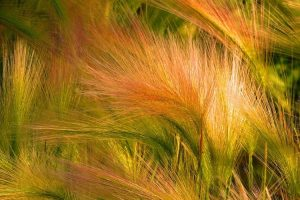 ornamental grasses in orange and green hues