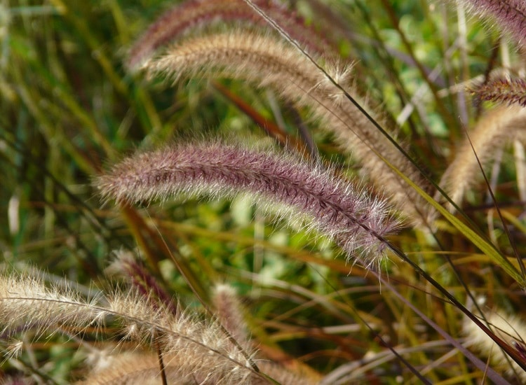 13 tips for landscaping with ornamental grasses for Purple decorative grass