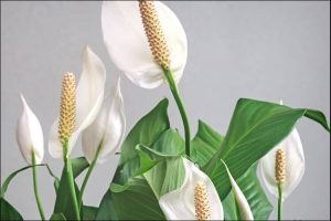 how to care for a peace lily indoors peace lily flowers