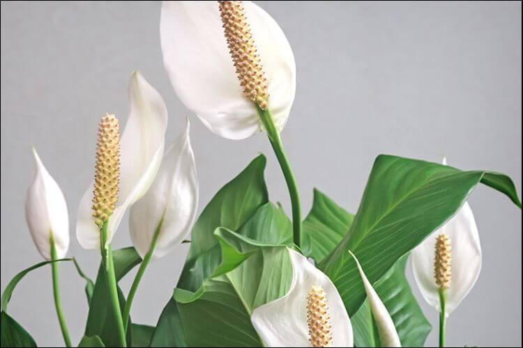 how to care for a peace lily indoors 11 tips and tricks. Black Bedroom Furniture Sets. Home Design Ideas