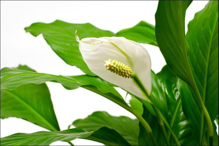 how to care for a peace lily indoors peace lily leaves