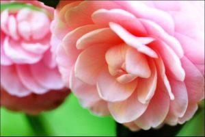 winter blooming flowers pink camellia flower