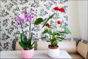 winter blooming flowers pots with cyclamen