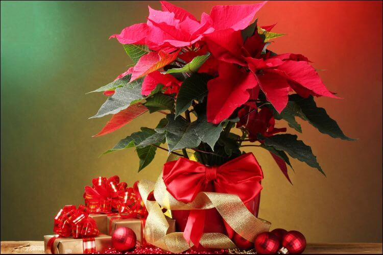 how to care for a poinsettia plant pot with red poinsettia plant