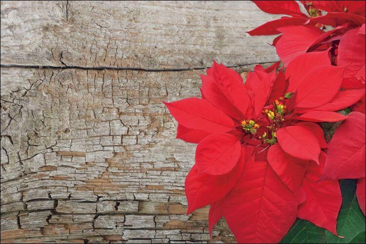how to care for a poinsettia plant red poinsettia bloom