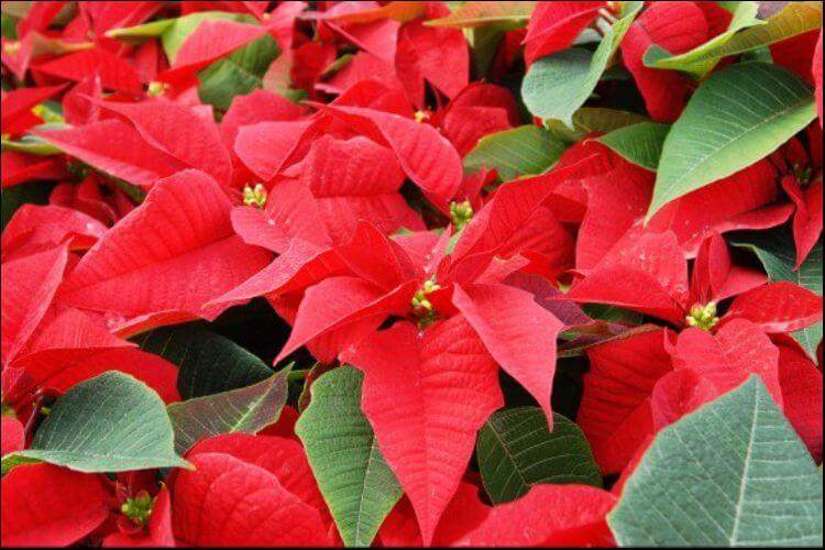how to care for a poinsettia plant red and green poinsettia leaves