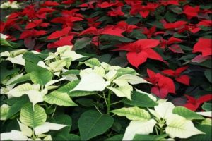 how to care for a poinsettia plant red and white poinsettia