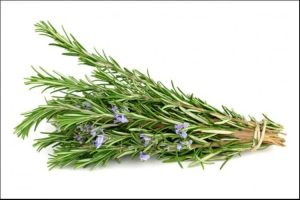 how to care for rosemary indoors rosemary bunch