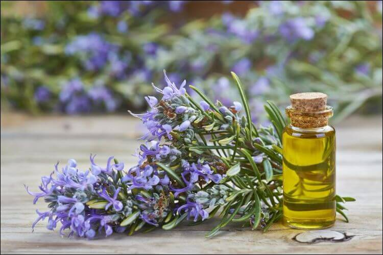 how to care for rosemary indoors rosemary oil