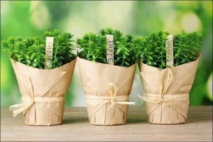 growing herbs in pots three pots wrapped in brown paper