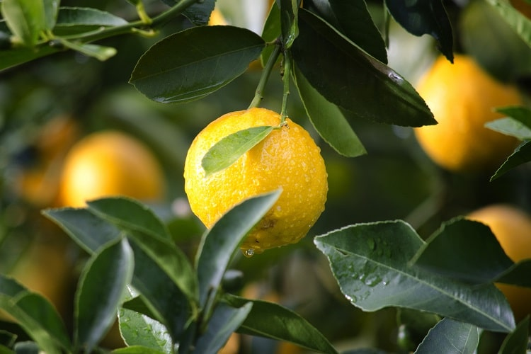 moisture on a lemon in a tree