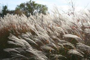 white ornamental grass plume pampas