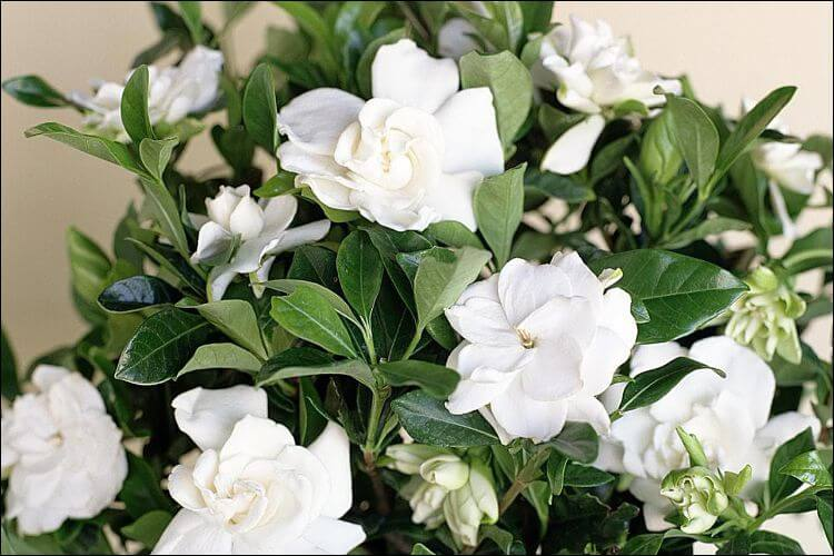close up of white gardenia flowers