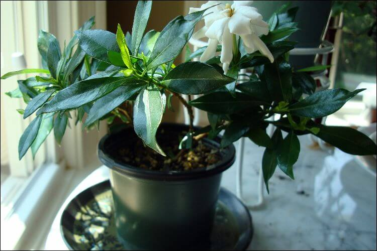 A gardenia pot with flowers in bloom