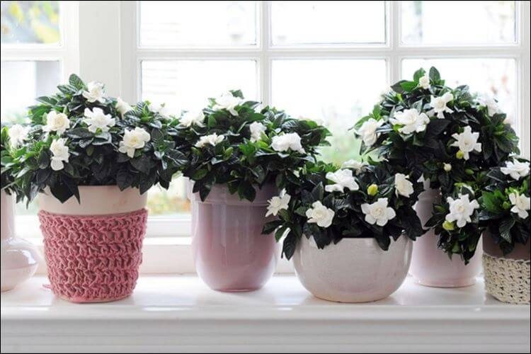 Different pots of various sizes and shapes with gardenias in them