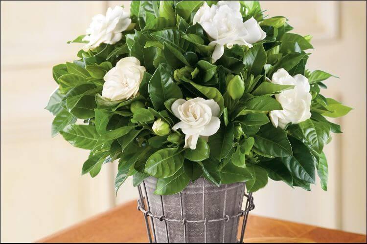 Pot with white gardenias in it