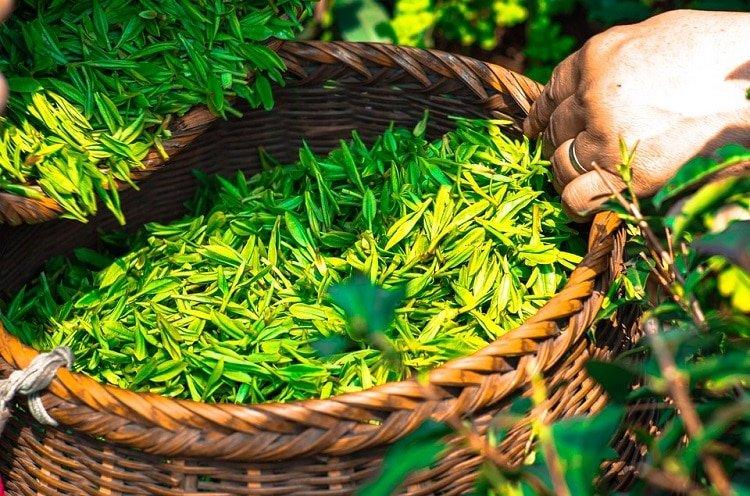 Tea leaves in a basket