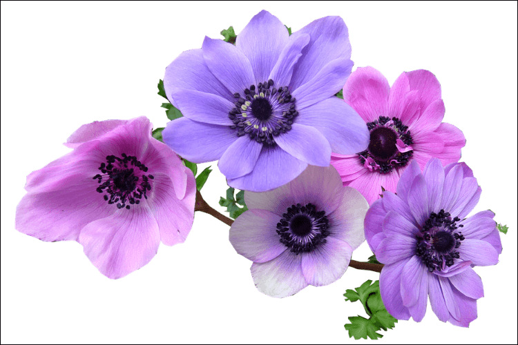 Cluster of anemones on a white background