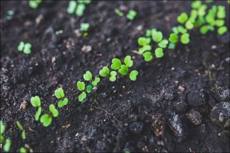 what to plant in January arugula seedlings