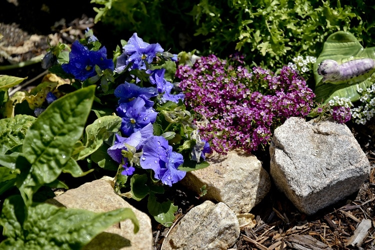 Violet and blue pansies in a rock garden