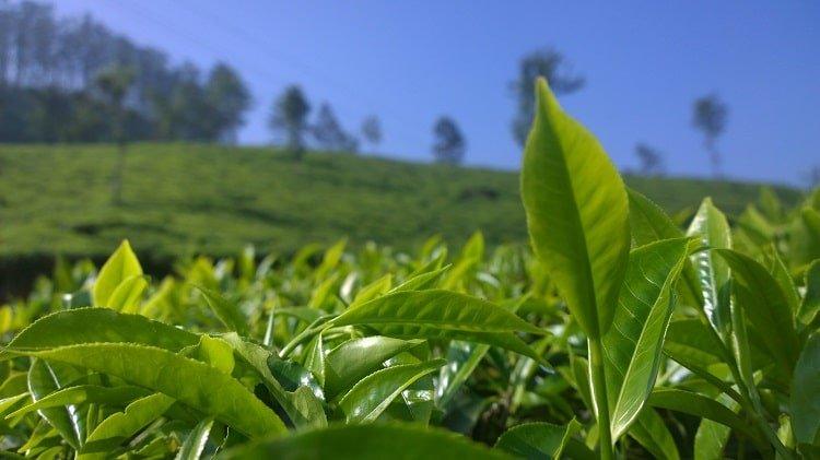 Tea plant in a field