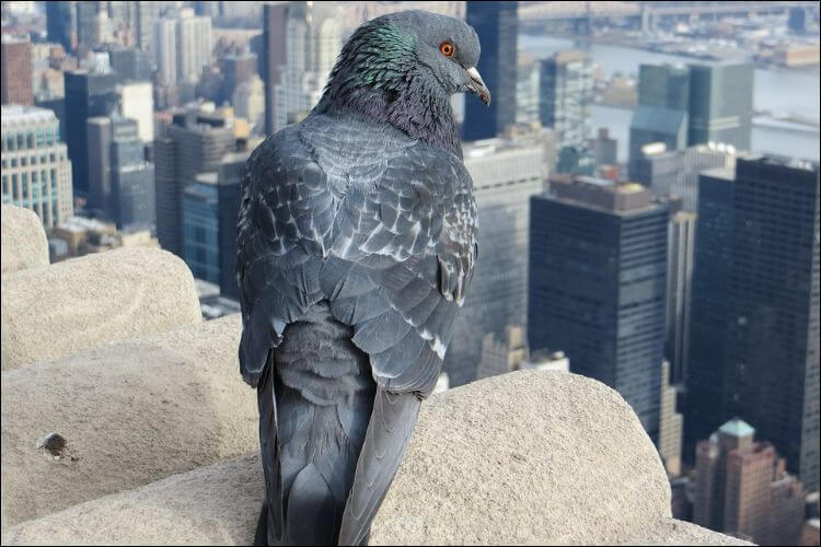 close up of a pigeon on a city landscape