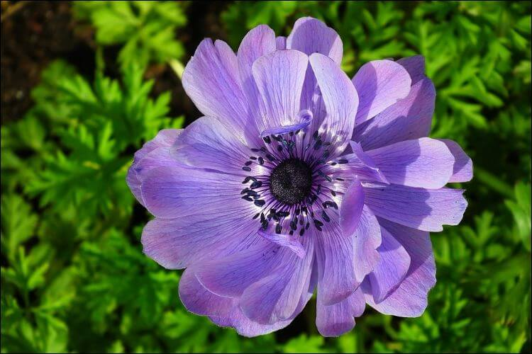 Purple anemone with an open bloom