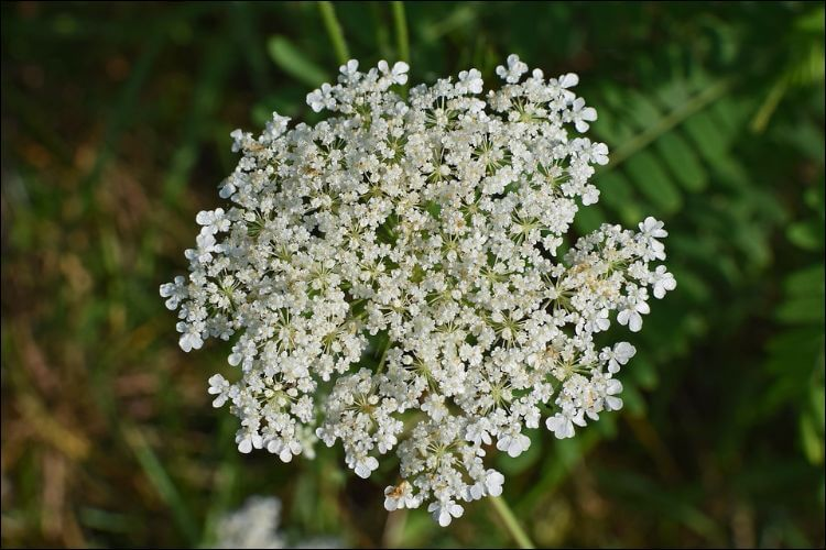 January wedding flowers queen anne's lace