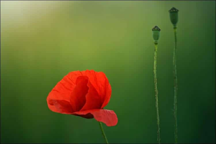 what to plant in January red poppy flower