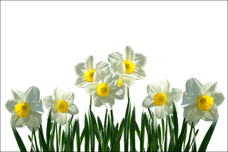 what to plant in January white daffodil bunch