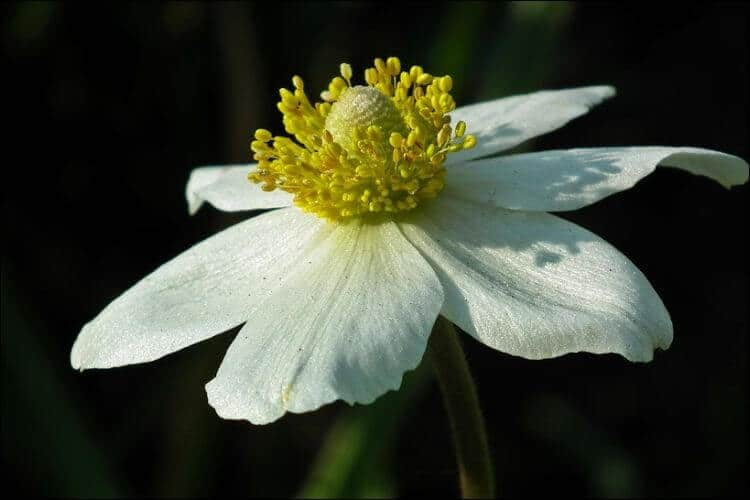 White anemone with a wide open bloom